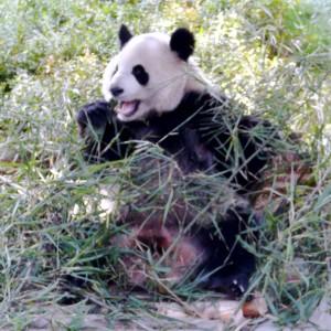 Großer Panda beim Fressen