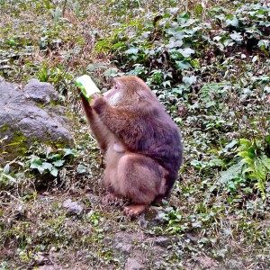 Makake beim Trinken