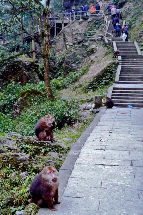 Makaken am Emei Shan