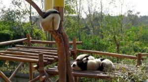 Große Pandas beim Schlafen